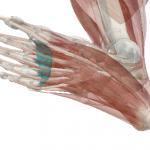 scheletro del piede con evidenziati i legamenti