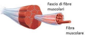 fascio muscolare ingrandito