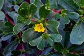 foglie e fiori di portulaca