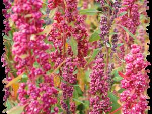 grappoli di semi di quinoa