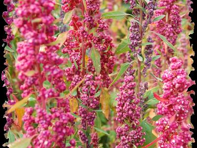 spighe colorate di quinoa